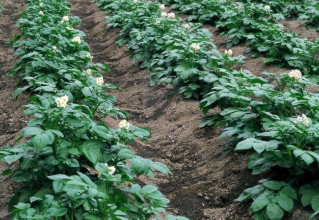 Кусты цветущей картошки сорта Чародейка на приподнятых и окученных рядах