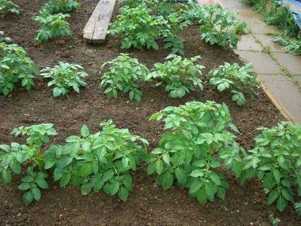 Кусты картофеля сорта Коломбо голландской селекции в огороде средней полосы России