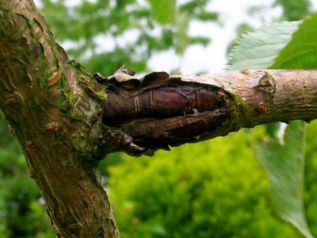 Ветка и ствол плодовой черешни с крупной и открытой лопиной