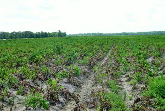 Поле с погибающими кустами картофеля вследствие заражения посадок фитофторой