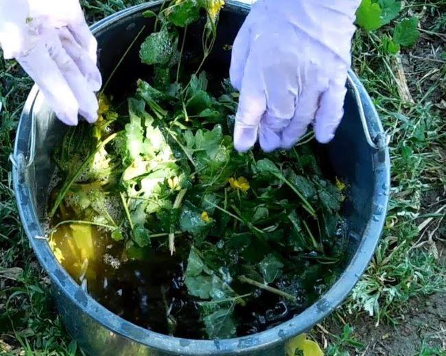 Ведро с настоем ботвы чистотела для обработки картофеля от проволочника