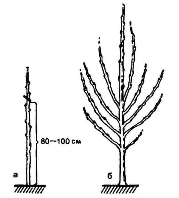 Схема обрезки саженца черешни при весенней посадке и вид куста в конце сезона.