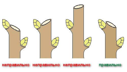 Схема выполнения правильного среза ветки черешни и распространенные ошибки обрезки