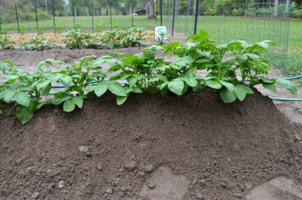 Ряд кустов картофеля сорта Коломбо на окученной высокой грядке
