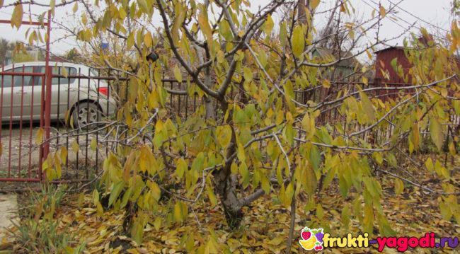 Опадают желтые листья на черешне