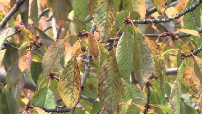 Ветки садовой черешни с листьями в грязно-желтых пятнах от парши