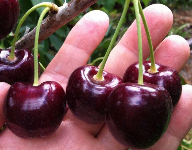 Пять спелых ягод крупноплодной черешни морозостойкого сорта в ладони садовода-любителя