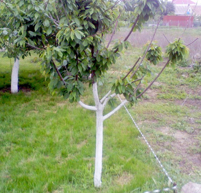 Молодое деревце садовой черешни с побеленным стволом и натянутый шпагат разметки