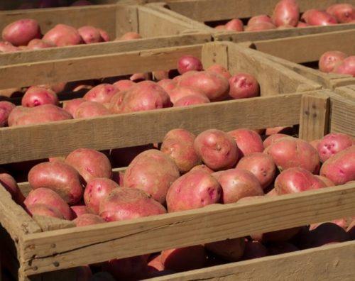 Отобранные на хранение клубни картофеля в процессе сушки