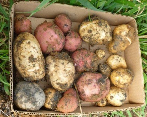 Картонный ящик с порченными клубнями картофеля, непригодными к длительному хранению