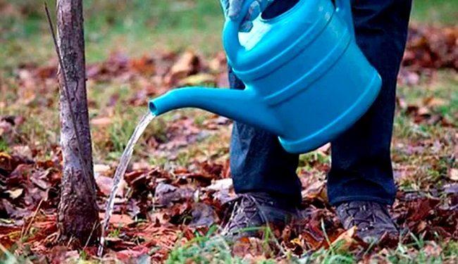 Полив черешни под корень из пластиковой садовой лейки