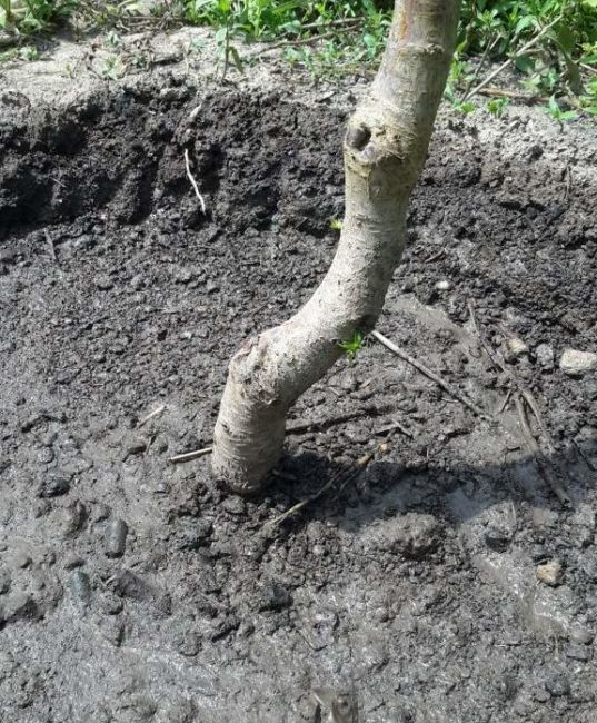Приствольный круг черешни с влажной почвой после обильного полива