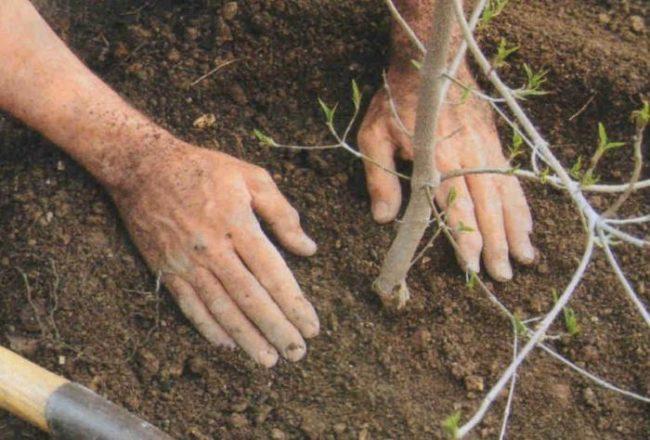 Трамбование земли руками около высаженного деревца черешни