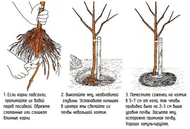 Схема правильной посадки черешни при выращивании растения в Краснодарском крае
