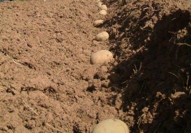Клубни картошки в неглубокой канавке в процессе ручной посадки