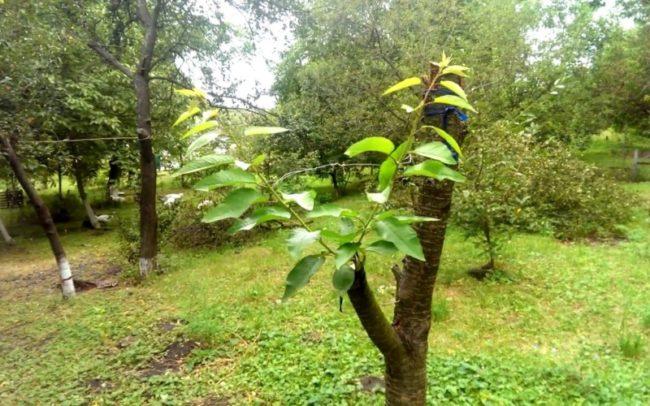 Обрезанный ствол садовой вишни с привитыми черенками черешни