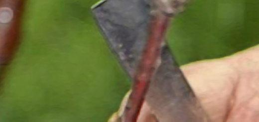 Отрезка стебля старого дерева для прививки ножом