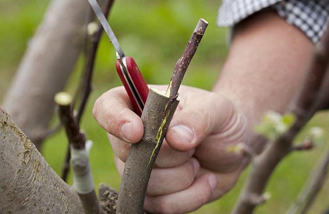 Черенок черешни, вставленный в полурасщеп ствола подвоя при выполнении прививки опытным садоводом
