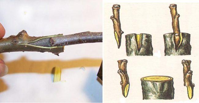 Фото и схема прививки черешни простым и популярным способом за кору