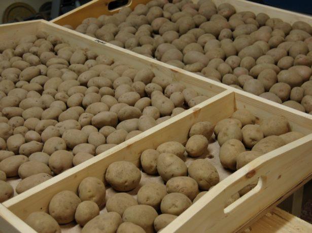 Низкие деревянные ящики с клубнями картофеля, подготовленного для проращивания