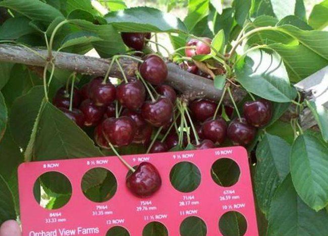Размер плодов черешни сорта Лапинс, определяемый с помощью шаблона прямо на ветке