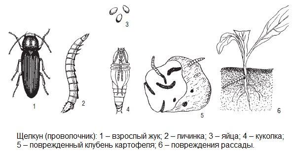 Схема развития жука-щелкуна от кладки яиц до поражения клубней картофеля