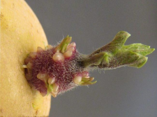 Молодой росток клубня картофеля перед высадкой в открытый грунт
