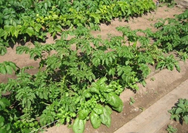 Кусты картошки с ярко-зеленой ботвой сорта Розара на высоких гребнях