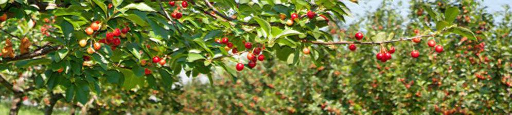 Молодой сад черешни в Краснодарском крае плодоносит