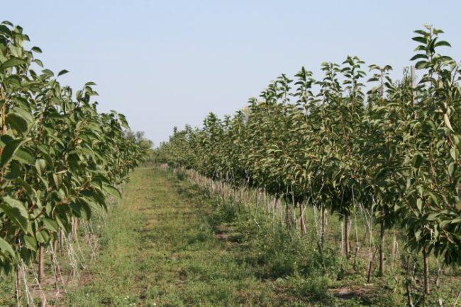 Ряды саженцев черешни, выращенные в плодовом питомнике Краснодарского края