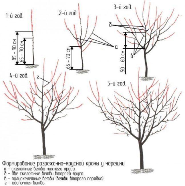 Схема формирования разреженно-ярусной кроны черешни вплоть до пятого года жизни растения