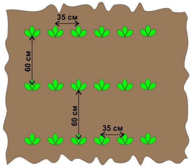 Стандартная схема посадки картофеля с указанием расстояний между рядами и лунками