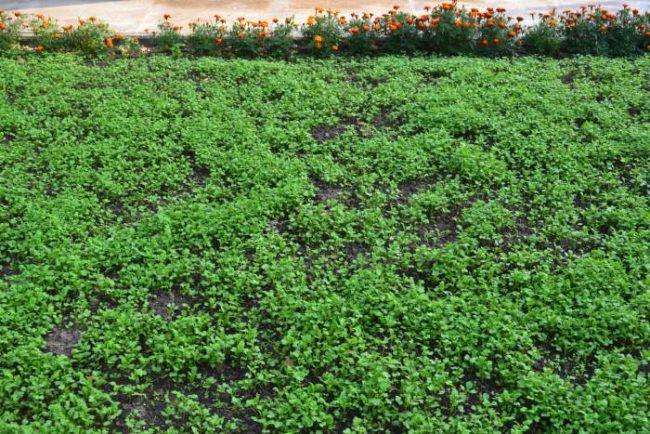 Выращивание горчицы на целинной земле как метод профилактики от проволочника