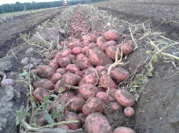 Выкопанный картофель столового сорта Розара в междурядьях на поле