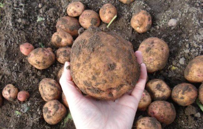 Крупная картофелина сорта Синеглазка в руке огородника-любителя