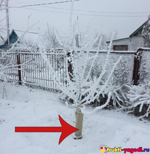 Сохранение ствола черешни в зимний период защита ствола