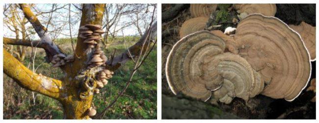 Фото грибов трутовиков различного размера, растущих на стволах садовой черешни