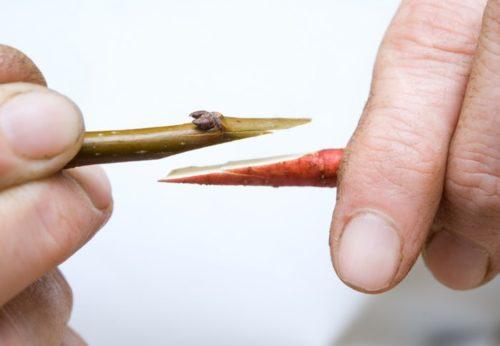 Фото правильных срезов веток черешни при выполнении прививки методом улучшенной копулировки