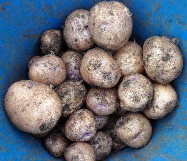Клубни картофеля гибридного сорта Синеглазка, выкопанные с одного куста