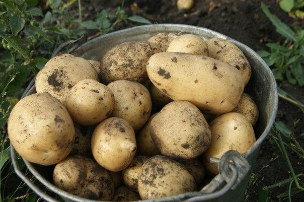 Старое оцинкованное ведро с выкопанной картошкой сорта Чародейка