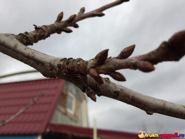Ветка черешни в весенний период начало завязи