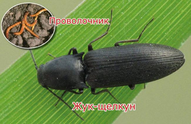Фото взрослого жука-щелкуна и его личинок, называемых проволочником