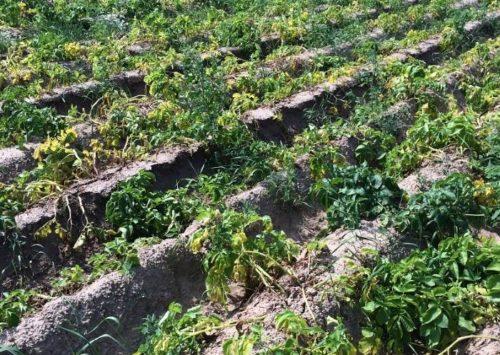 Ряды посадок картофеля с высохшей от альтернариоза ботвой