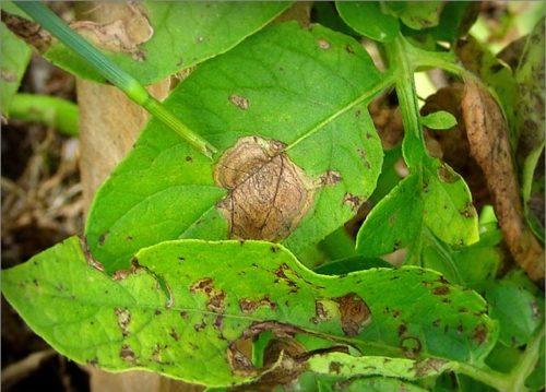 Признаки заражения картофеля сухой гнилью в виде коричневых пятен на листьях