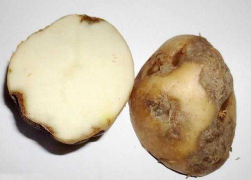 Разрезанный клубень картошки с темными гнилыми пятнами при поражении растения альтернариозом