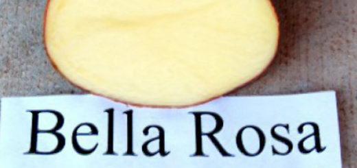 Картофель Беллароза в разрезе с табличкой