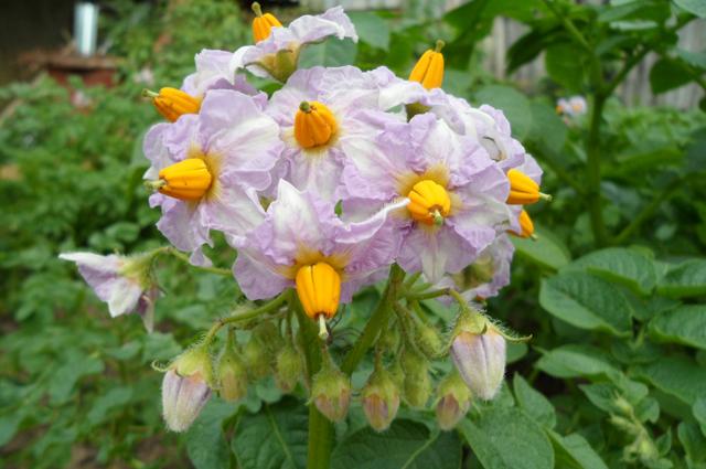 Цветение картофеля столового сорта Беллароза раннего срока созревания