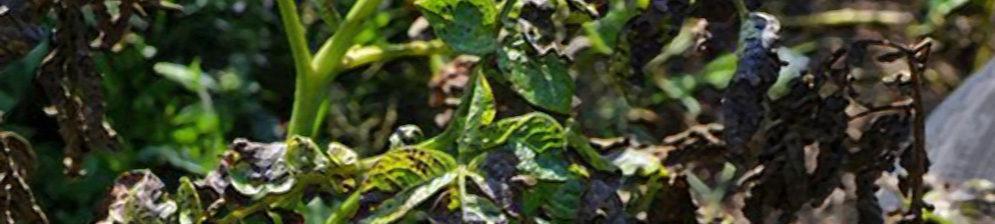 Зеленая и почерневшая ботва на картошке