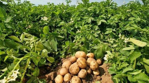 Урожай молодого картофеля на грядках с сочной большой ботвой