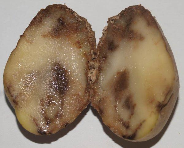 Мякоть разрезанного клубня картофеля с бурыми и гнилыми пятнами